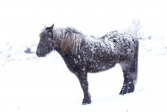 Cheval islandais sous la neige