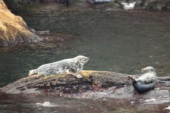 Phoques Gris se prélassant sur les rochers