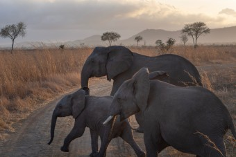 Trois éléphants dans le parc de Mikumi