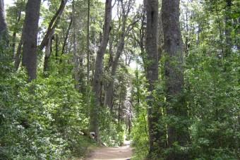 La forêt de coihues sur la péninsule de Quetrihué