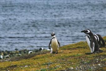 Pingouin sur l'île Magdalena