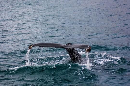 Baleine qui sonde au large d'Husavik
