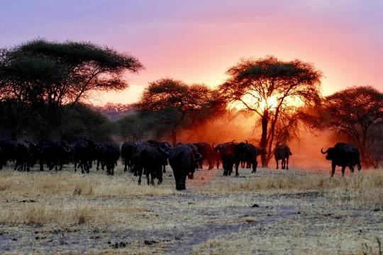 Buffles au coucher de soleil dans le Tarangire