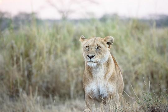 Une jeune lionne à l'affût