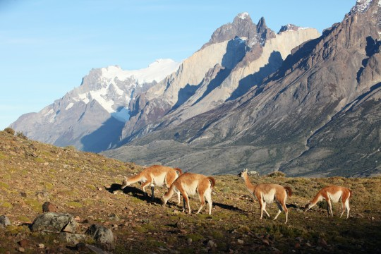 Les Cuervos del Paine et les Guanacos