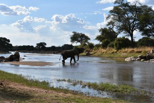 Elephant traversant la rivière Ruaha