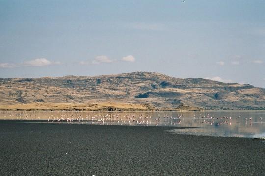 Flamants nains sur la rive Sud du lac.