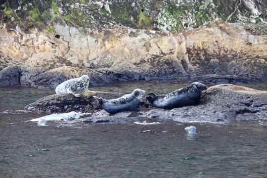 Des Phoques Gris près du cap Bon Ami